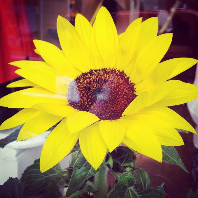 Un tournesol dans la vitrine pour une boutique aux couleurs du sud